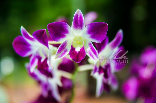 jamaican orchid